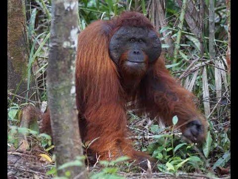 Wildlife Of Tanjung Puting National Park, Borneo I - 2015