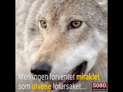 Wow! På 90-tallet fikk Norge en stabil ulvestamme: Ingen forventet miraklet ulvene forårsaket...