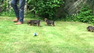 Border Terrier Puppies At Six Weeks Old