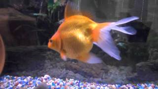 Pet Fish With Names (Goldfish and Tropical)