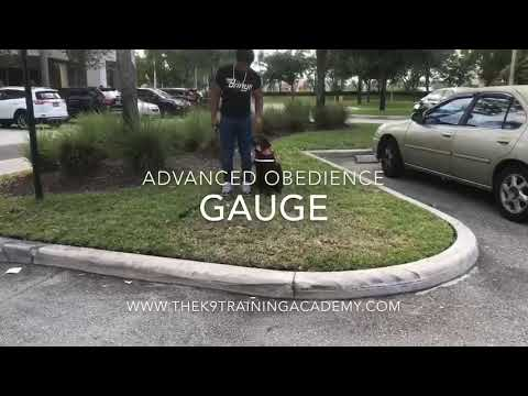 Labrador Gauge Advanced Obedience Dog Training