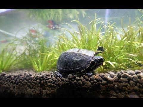 3 Striped Mud Turtle Update 4K