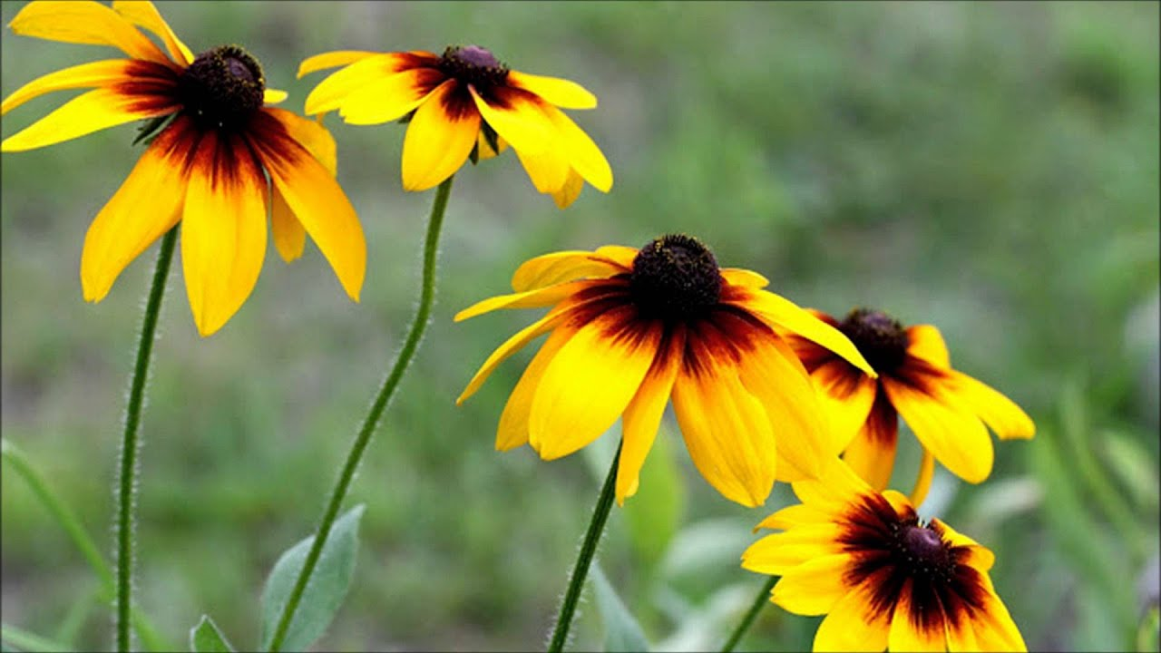 brown eyed susan - 1280×720