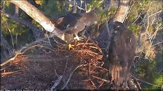AEF-NEFL Eagle Nest Cam 2-20-18 Sky flies to Lookout Branch