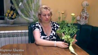 видео Луковицы ранункулусов: выращиваем садовые лютики