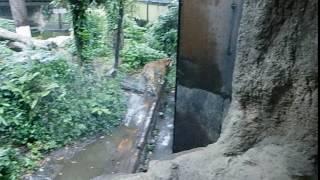 動物園で撮影したトラですが、アフリカにはトラがいないのですがアジア...