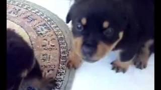 Psikopat Yavru - Rottweiler [puppy Rottweiler]