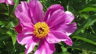 Первое цветение нового пиона! Как звать тебя красавец?