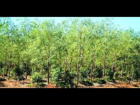 Sandal wood cultivation makes you millionaire