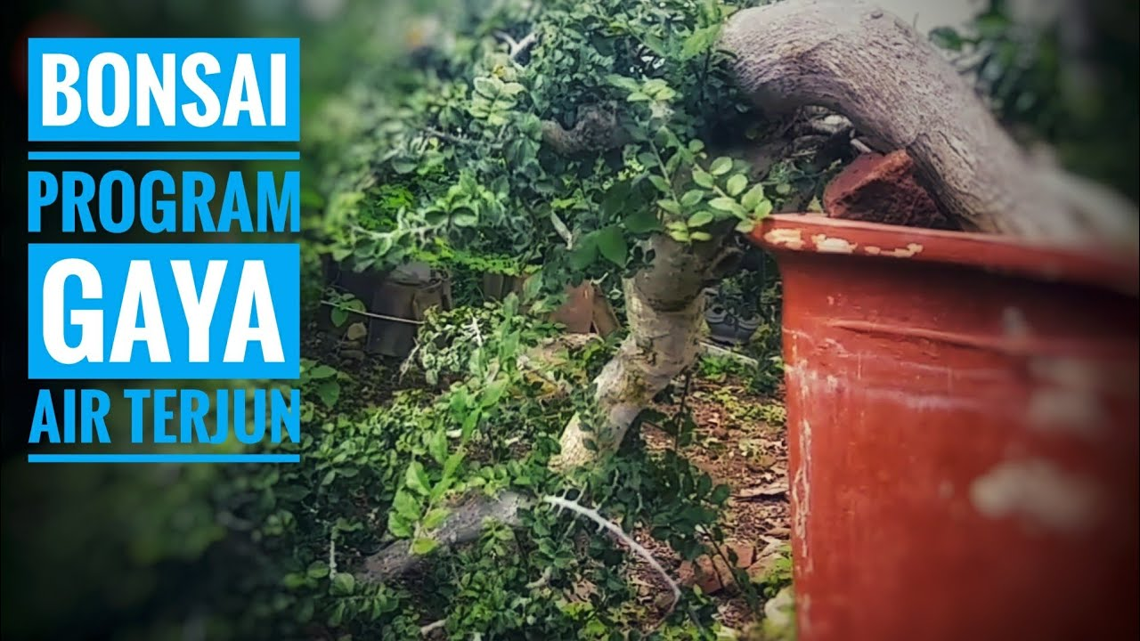 Budidaya Dan Program Bonsai Serut Gaya Air Terjun Youtube