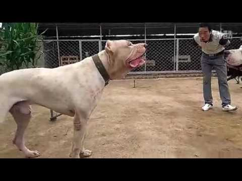 Pitbull vs Dogo Argentino! - YouTube