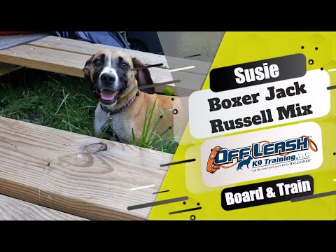 Boxer Jack Russell Mix (Susie)/Best Dog Trainers Dover Delaware!