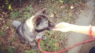 うちの犬、くまこ(5歳)と公園で遊びました。 芳根京子のキョウコノゴ...