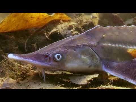 СТЕРЛЯДЬ. О чем молчат рыбы 50