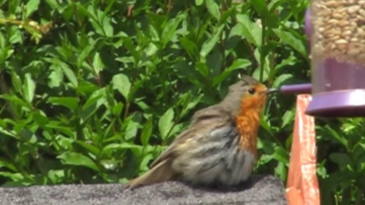 robin bird puffing up youtube