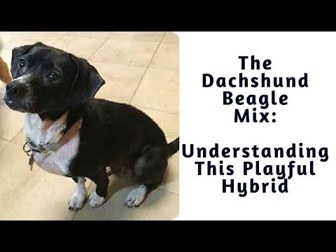 The Dachshund Beagle Mix (Doxle): Understanding This Playful Hybrid