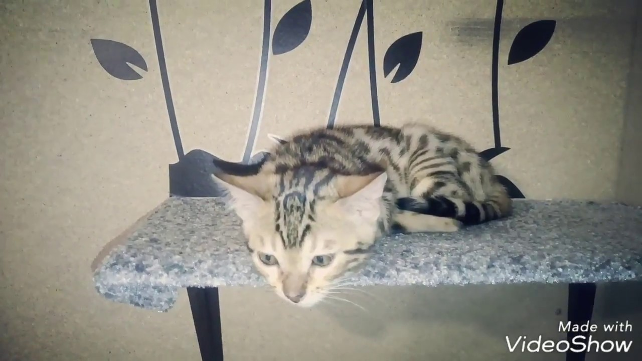 Bengal kittens relaxing - YouTube