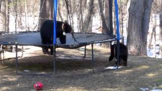 Bears Playing on Trampoline in Connecticut 2014