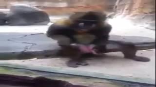 Обезьянка в зоопарке рукоблудит
