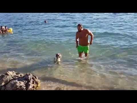 Australian Shepherd swimming - Aussie swimm first time