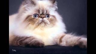 Гималайская кошка (Himalayan cat) породы кошек( Slide show)!