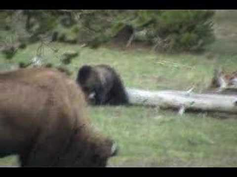 Bear and Bison in Yellowstone