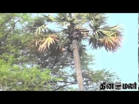 Panai Nungu Rates gets increased in Krishnagiri - ...