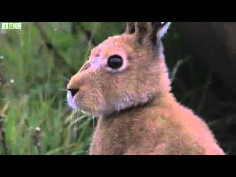 Irish Hares at Belfast International Airport on Autumnwatch