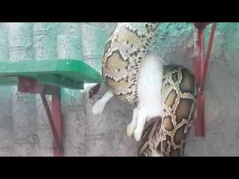 trăn nuốt thỏ