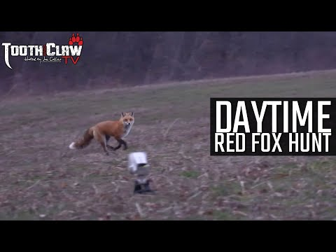 Daytime Red Fox Hunt