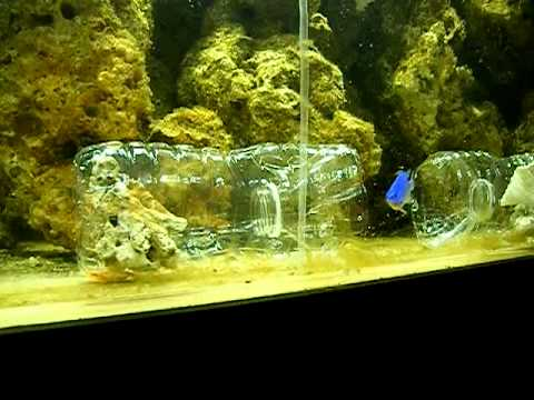 Catching a blue devil damsel with home made fish trap for Aquarium fish trap