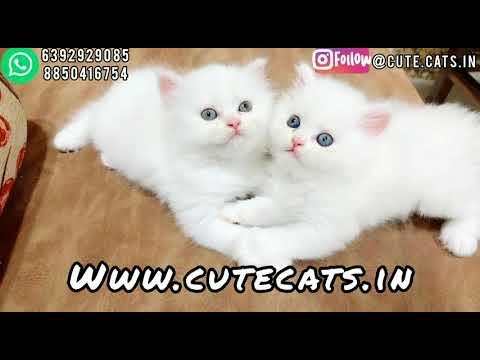 Persian cats kitten available in Mumbai Top Quality FlatFace | Semipunch | Dollface #persian #cats