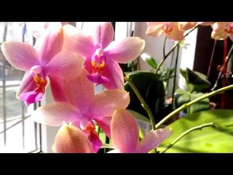 Орхидея  Лиодоро  цветет😍💞