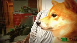 柴犬チョリ テレビの犬をみて一緒に悲しむ thumbnail