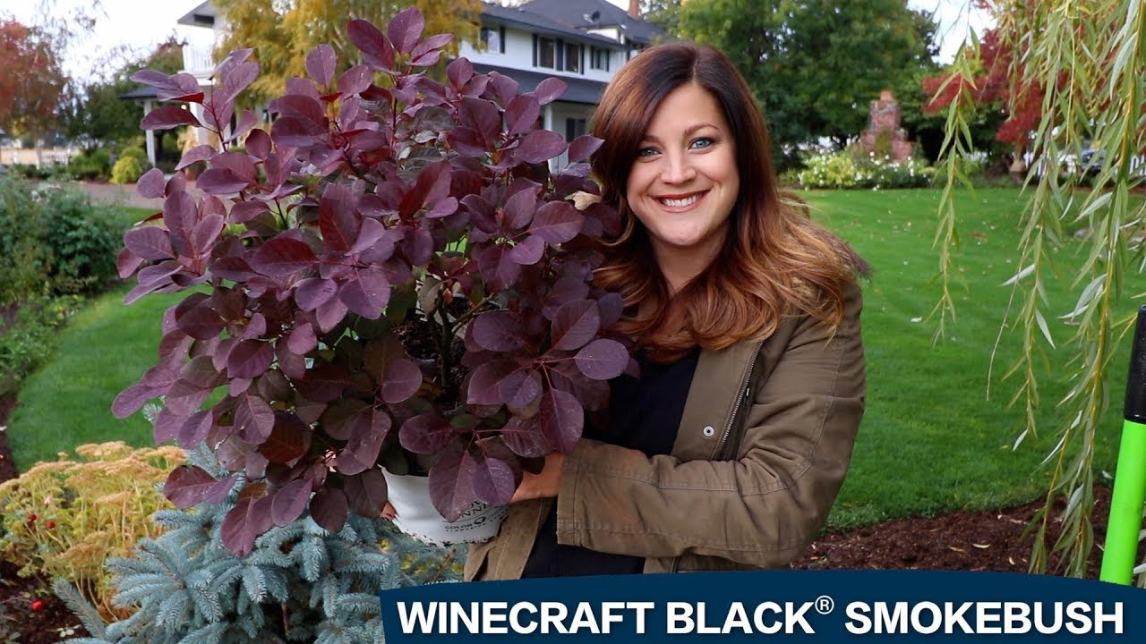 A Spotlight On Winecraft Black Smokebush Youtube