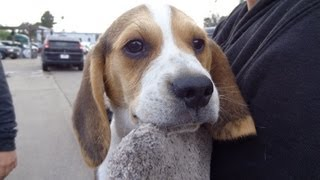 Cute Miniature Pocket Beagles Cute Fighting Tiny Akc Puppies Sale