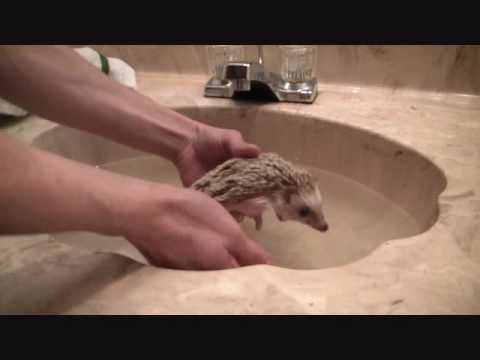 How To Give Your Hedgehog A Bath YouTube - 24 animals that really arent happy about it being bath time