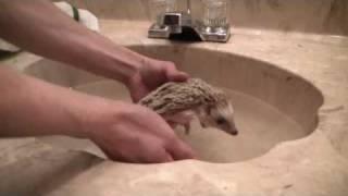 Video How to give your hedgehog a bath download MP3, 3GP, MP4, WEBM, AVI, FLV Juni 2018