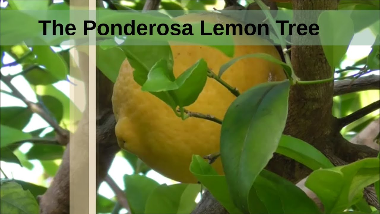Growing the ponderosa lemon tree and a look at the fruit for Lemon plant images