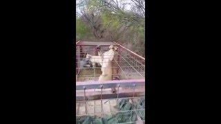 PUMA | LEÓN DE MONTAÑA |   MOUNTAIN LION TRAPPED