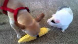 Video Chihuahua and Guinia Pig sharing corn download MP3, 3GP, MP4, WEBM, AVI, FLV Desember 2017