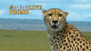 safariLIVE speeds after the planet's fastest land mammal, the cheetah! thumbnail