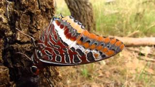 Mariposa del Madroño (Charaxes jasius)