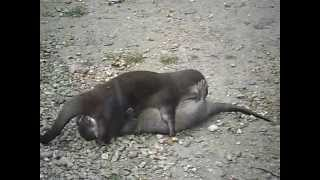 Otter Mating 69 sex position
