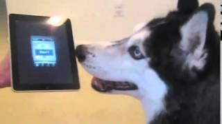 Поющая собака (singing dog)