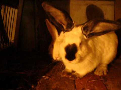 Спаривание кроликов: основные правила случки
