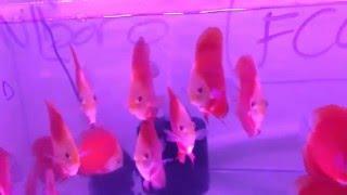 Xanh Tuoi Tropical Fish in Vietnam - Vietnam discus fish for sale