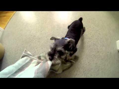 Mini Schnauzer Puppy Chases a Towel