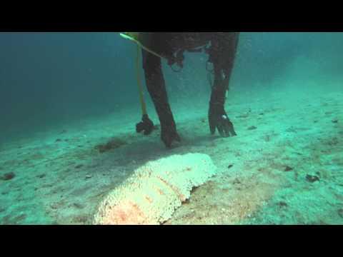 Sea cucumber on the Wreck Trek