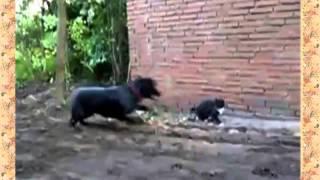 Кот гоняет     Собаку !!! Супер Кот